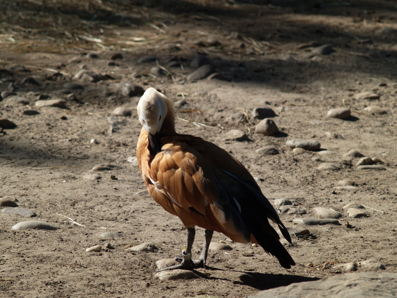 Jupiter-11 135mm f4 M39 black zebra-6635